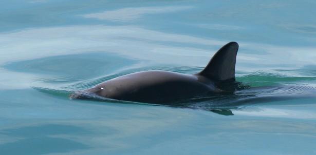 espèces ménacées 2016: marsouin du Pacifique