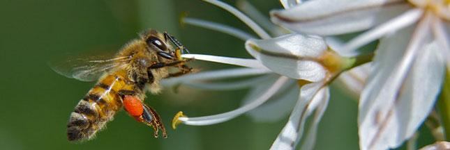 Pesticides: la France interdit les produits tueurs d'abeilles