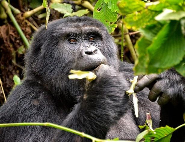 espèces menacées 2016: gorille des montagnes