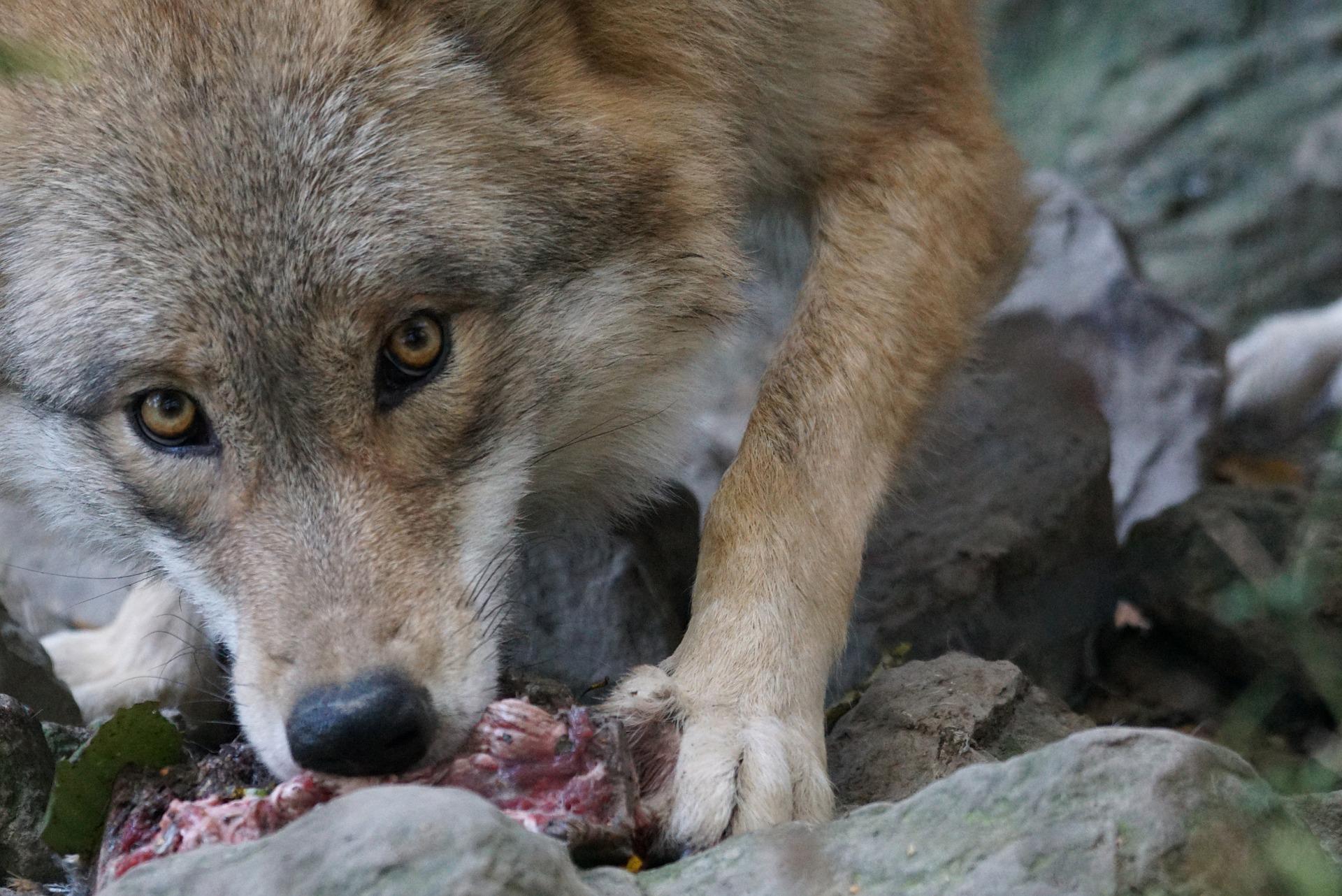 Loup élevage