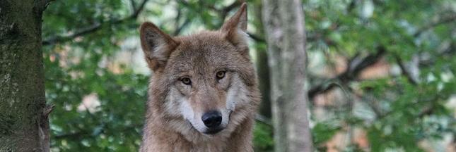 Le loup, une espèce à abattre ?