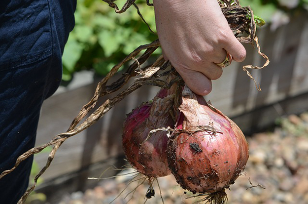 onions-248027_640-internet-aide-agriculture