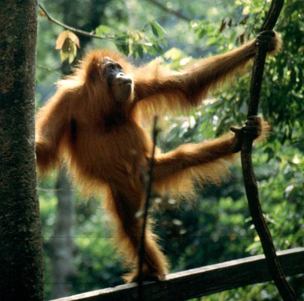 espèces menacées 2016: orang-outan de Sumatra