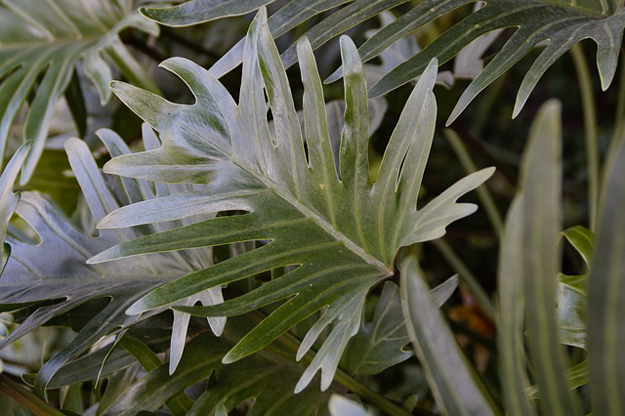 philodendron-plantes-interieur-mars