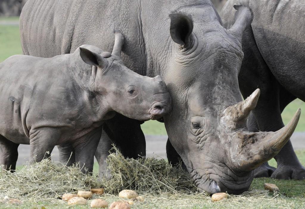 espèces ménacées 2016: rhinocéros de la Sonde