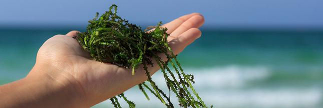 Ces algues qui nous veulent du bien