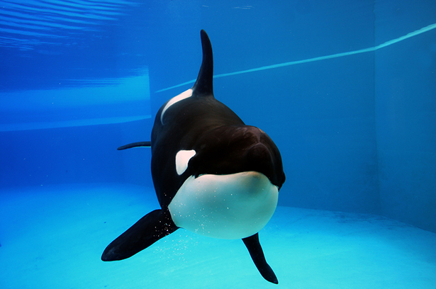 orque épaulard en captivité