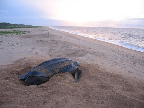 espèces menacées 2016: tortue luth