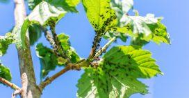Pucerons: fabriquez votre insecticide naturel