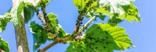 Pucerons : fabriquez votre insecticide naturel