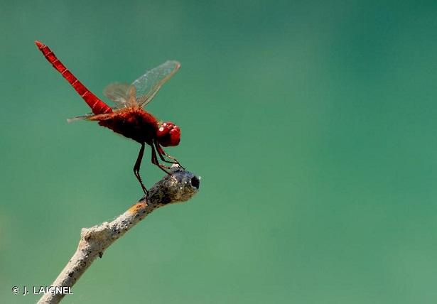 crocothémis écarlate libellule