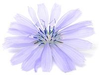 fleur-chicoree