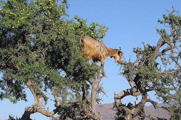 huile-argan-chevre-maroc