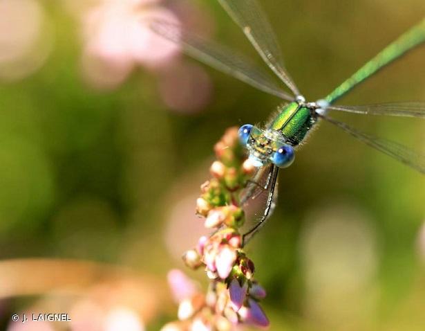 Leste des bois libellule