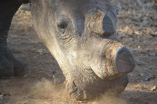 rhinocéros corne
