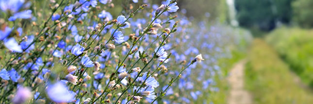 Comment se cultive la chicorée, aussi appelée la fiancée du soleil ?