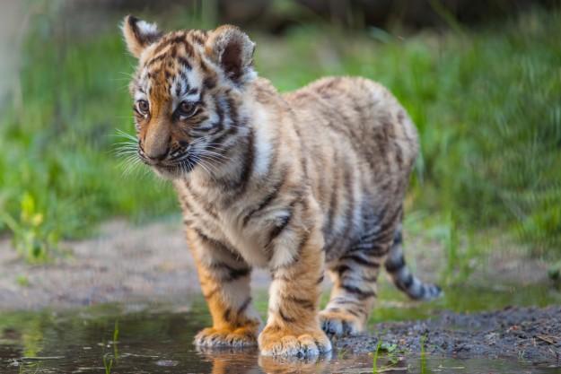La population de tigres dans le monde est en hausse pour la première fois depuis plus d'un siècle