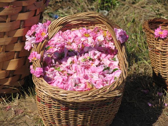 cueillette roses damas