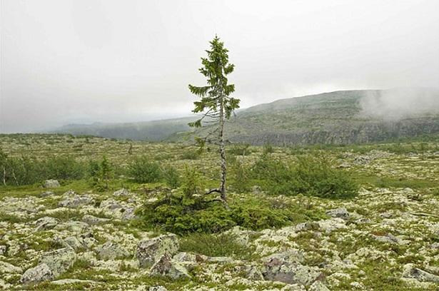 plus vieux arbres, old tjikko