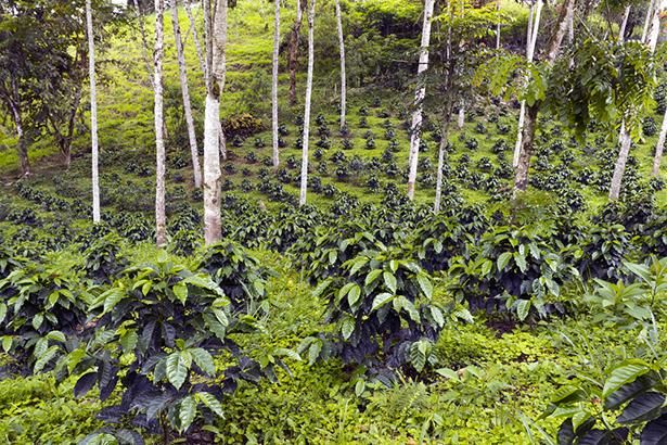 Plantation de café en Équateur © Dr. Morley Read Shutterstock
