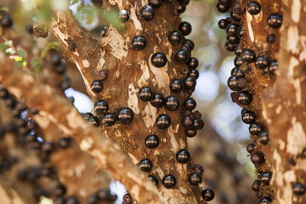 jaboticaba un arbre fruitiers subtropical atypique. Shutterstock_200329328-fruits-meconnus-vertus-etonnantes-3922-jaboticaba