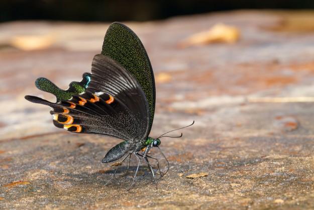 Il y a 30% moins de papillons dans les villes d'Île-de-France