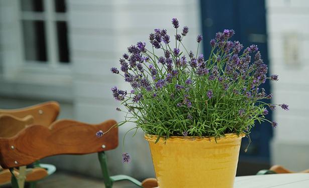 5 plantes pour purifier votre chambre la lavande page 4 for Lavande interieur