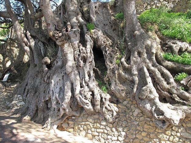 plus vieux arbres olivier