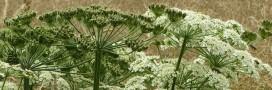 Plante invasive: évitez la toxique Berce du Caucase