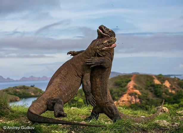 animaux sauvages komodo