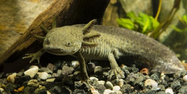 Animaux extraordinaire: l'axolotl