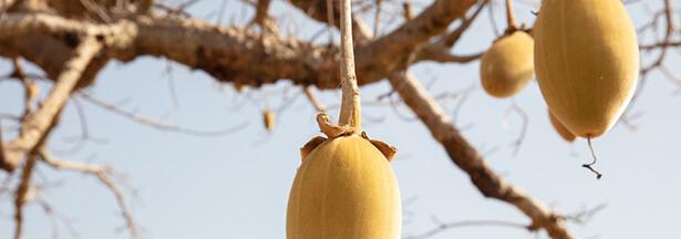 super aliments baobab fruit
