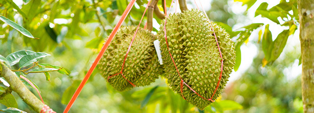 super aliments durian