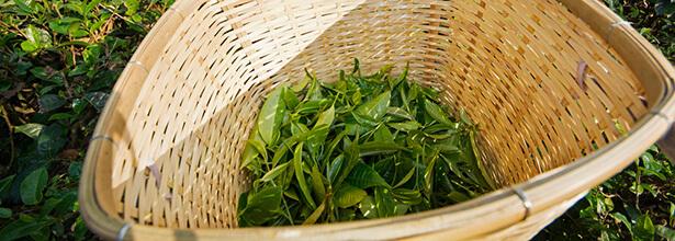super aliments thé vert