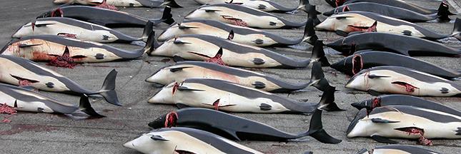 Massacre de dauphins dans l'océan Atlantique
