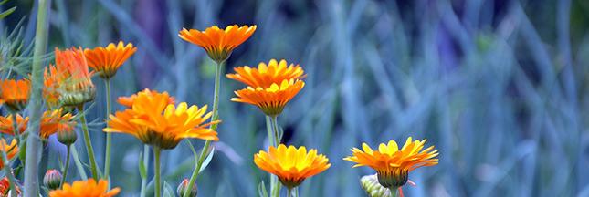 Apaisez vos coups de soleil avec l'huile au calendula bio