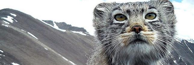 Les fabuleux clichés d'un Chat de Pallas, un félin des plus mystérieux