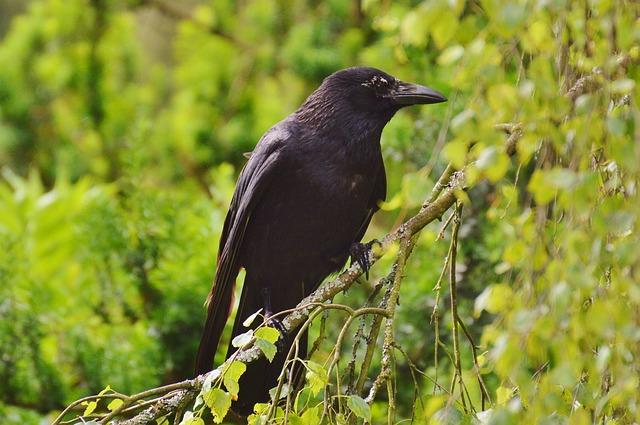 corbeau invasif