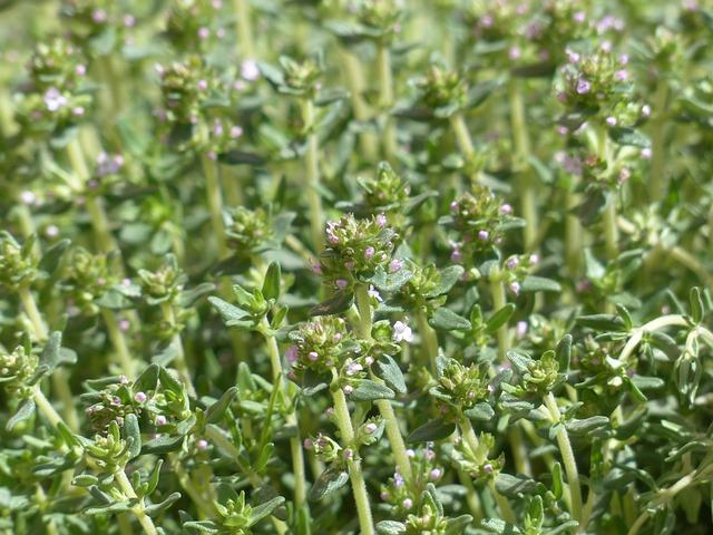 herbes provence thym