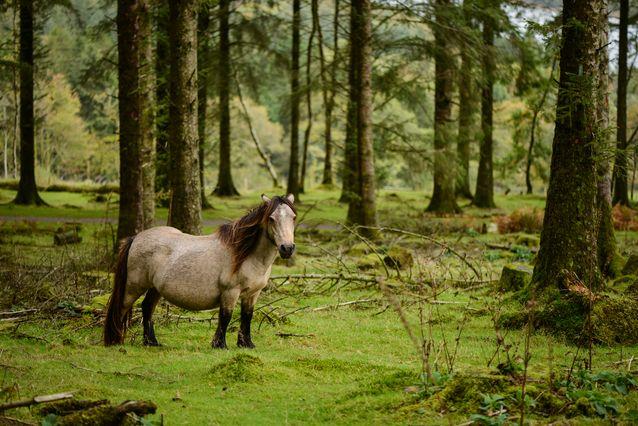 poney dartmoor