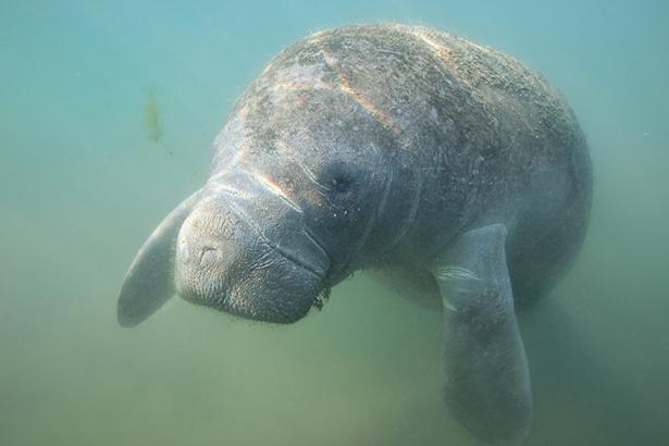 Belize WWF lamantin