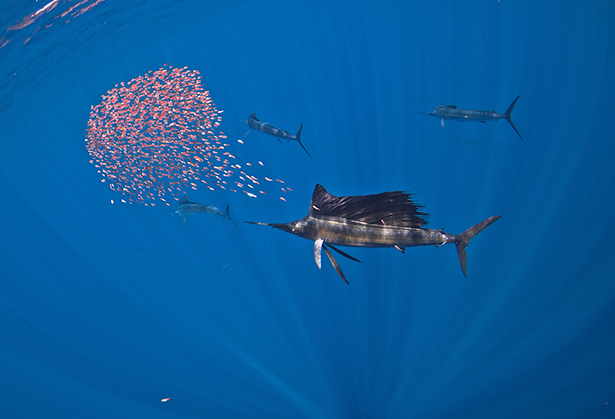 Faune marine de l'archipel de Revillagigedo  © Erick Higuera
