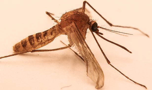 Spéciation moustique du métro de Londres