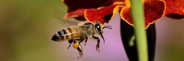 Les abeilles sauvages victimes des nouveaux pesticides