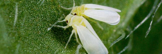Bemisia tabaci : l'insecte qui résiste aux pesticides aux États-Unis
