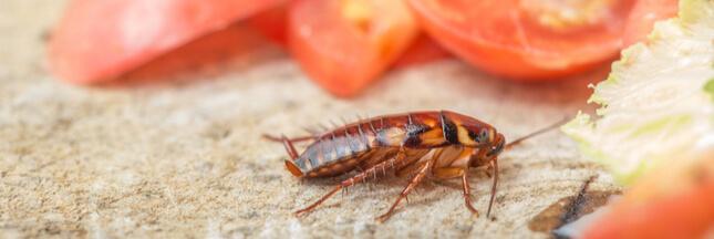 Des blattes à la maison? Découvrez nos astuces pour vous en débarrasser