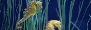 Des hippocampes morts saisis par les douanes