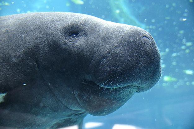 Lamantin dugong manatee Antilles caraïbes Guadeloupe
