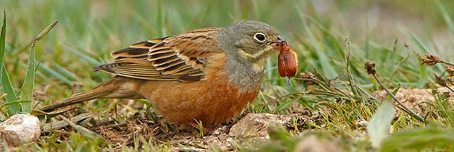 Le bruant ortolan, entre tradition culinaire et protection de la biodiversité