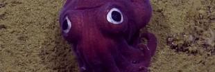 Des biologistes craquent pour deux adorables pieuvres